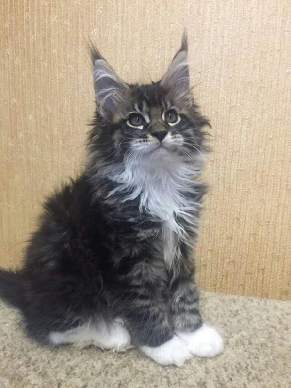 Ohio Adorable male Maine coon kitten available for sale